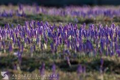 Meadow of crocuses. Nature, Plants, Flora, Nature Illustration, Off Grid, Plant, Mother Nature