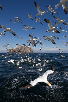 "July 31: ""Gannets return to Bass Rock in January, remaining until October. At the peak of the breeding season, 150,000 may be present – one-tenth of the world's population."" A Summer of British Wildlife; www.bradtguides.com #100dayswild"