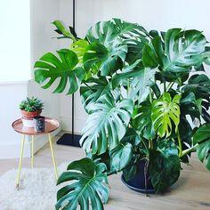 Monstera goals Via: @mangoandsalt #monstera #swisscheeseplant #insideplant #urbanjunglebloggers #urbanjungle #goals #plantgoals #greenery #mangoandsalt