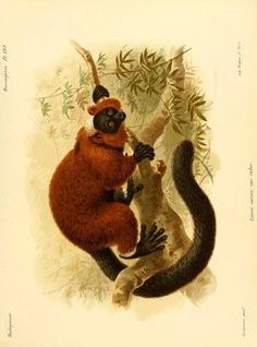 The Natural History of Madagascar 1885 Red-ruffed Lemur 1 Poster Print by John G. Keulemans (24 x 36)
