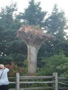 Hurricane inverted tree, New Glasgow, P.E.I.