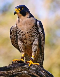 Did you know that the peregrine falcon can reach speeds of 200 miles per hour in a dive for prey? Look out prey!