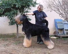 Black Russian Terrier (bicolor) This is a major fault... But it's awesome