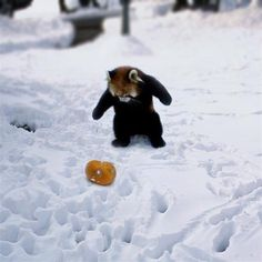 Must have this panda bear. And figure out wtf that other thing is. Red Panda Cute, Panda Love, Panda Bear, Funny Animal Pictures, Funny Animals, Paws And Claws, Cute Little Animals, Cute Friends, Four Legged