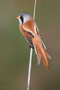The Bearded Reedling is a small, sexually dimorphic reed-bed passerine bird. It is frequently known as the Bearded Tit, due to some similarities to the Long-tailed Tit, or the Bearded Parrotbill. Wikipedia