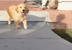 And this golden who wants to say hello but doesn't quite understand gravity.