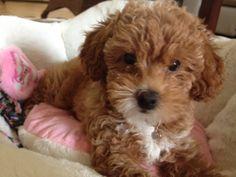 daisy my miniature poodle ❤