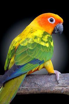 Sun Conure Parrots Wallpapers x Love Birds Pet, Best Pet Birds, Cute Birds, Pretty Birds, Beautiful Birds, Animals Beautiful, Cute Animals, Tropical Birds, Exotic Birds