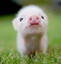 Piggies are friends, not food!!!!!!!       Respect the pig!