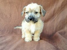 Check out Yoshi's profile on AllPaws.com and help him get adopted! Yoshi is an adorable Dog that needs a new home. https://www.allpaws.com/adopt-a-dog/terrier/3597040?social_ref=pinterest