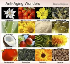 Anti-aging Wonders- Ingredients to look for! SBT Seabuckthorn is in every single SBT Seabuckthorn Cream.