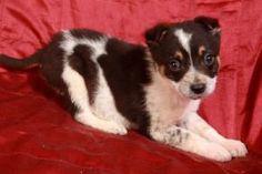 Erikson Heeler is an adoptable Australian Cattle Dog (Blue Heeler) Dog in Cabool, MO.  Erikson Heeler Australian Cattle dog mix Baby Male Medium Approximate birthdate: 12/15/12 Weight: 3 pounds  A...