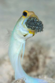 A jawfish with a brood of eggs in its mouth