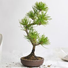 repotting of bonsai