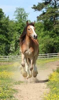 Tuesday Morning's Chance at Gold - Bay  Gypsy Vanner Mare in Fairview, North Carolina 28730