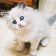 Most Popular Cat Breeds - Ragdoll Cats Pictures and Photos Ragdoll Cat Breed, Ragdoll Kittens, Persian Kittens, Tabby Cats, Bengal Cats, Cute Kittens, Baby Animals, Funny Animals, Cute Animals