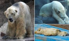Is this the world's saddest animal? Fears for polar bear Arturo   Please sign petition at Change.org   #polarbear #saveArturo #animals #cuteanimals #changedotorg  #mendozazoo #wrong #cruel