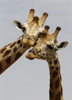 It's apparently time to start worrying about giraffes. While they don't get the attention of elephants or other high-profile animals on the brink, new numbers from a conservation group show a... Green News Summaries. | Newser