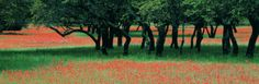 Indian Paintbrushes and Scattered Oaks, Texas Hill Co, Texas, USA Photographic Print by Panoramic Images - AllPosters.co.uk