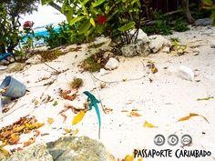 Em Aruba é tanta tonalidade de azul que até as iguanas daqui são azuis  e lindas demais!!! Quer saber mais sobre esse paraíso?   www.passaportecarimbado.com   #p_carimbado #Praia #ProximoDestino #Caribe #Cruise #Cruzeiro #Caribbean #verão #viagens #Vacation #viagemeturismo #viagemmaravilhosa #Beach #Nature #NaMinhaLista #Summer #Férias #LugaresQueQueroConhecer #queromais #Euquero #trip #travel #Aruba #ABCdoCaribe