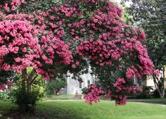 Crape myrtlesyou can never have too many garden dreams one of the longest blooming types of trees i have 3 kinds a watermelon red a catawba purple and a pink crape myrtle tree mightylinksfo