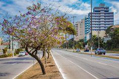 Flores - Árvores floridas às margens da Rodovia Amaral Peixoto em Macaé-RJ
