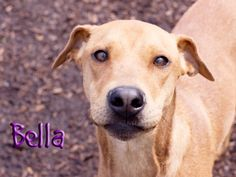 Bella is a very calm girl who walks great on a leash. She is timid at first but warms up quickly. Due to her gentle nature she should be in a home with no small children and a meet and greet with any dogs in the home is recommended. However, she is not a fan of cats therefore she should go to a home without them. She likes to be close to people, and has the neatest curly tail.  Please visit Indianapolis Animal Care & Control, $60 adoption fee.