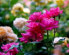 Rittenhouse Square Roses art print ~ a close-up photograph of gorgeous deep pink roses in Philadelphia's Rittenhouse Square, at the beginning of June.  www.ronablack.com