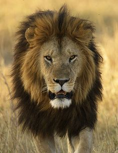 Beautiful Cecil the Lion, notice his black mane, he was one of a kind, so sad!