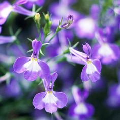 Blue Lobelia- There are few blues more intense and gorgeous than those found on annual lobelia. The mounding type, called edging lobelia, is beautiful for planting in rows in the front of beds and borders. The cascading type is stunning, like a sapphire waterfall, spilling from window boxes or pots.