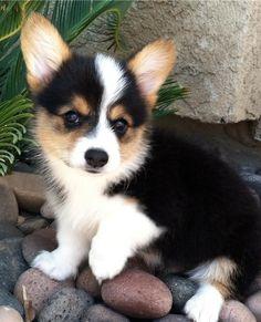 Corgi puppy... so adorable!