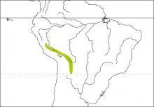 Pale-legged Warbler (Basileuterus signatus)
