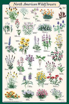 This poster features beautiful illustrations of some of the most popular and colorful wildflower varieties. Each flower's common and scientific name is listed.