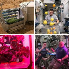 "NASA plans to grow food on future spacecraft and on other planets as a food supplement for astronauts (top right). Astronaut Kjell Lindgren corrals the supply of fresh fruit in the international Space Station - ISS (top, left). Astronauts on the ISS harvest and savour ""Outredgeous"" red romaine lettuce from the Veggie plant growth system (bottom)."