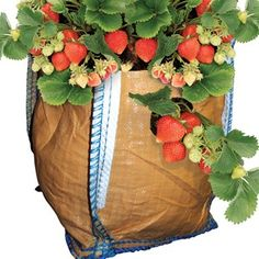 2 Strawberry Planters Ideal for the Patio!Each planter will hold 6 plants, 4 around the side and 2 in the bag. They also have handles which allow them to be easily moved and a flat base which is ventilated.For those of you http://www.MightGet.com/january-2017-11/2-strawberry-planters.asp