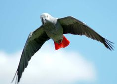 Wild African Grey parrot in flight, i suppose mine would look like this if he flew too.