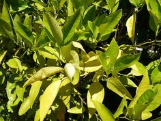 Why are my citrus tree leaves yellowing?  Cure found here:  The Garden of Eaden: May 2013