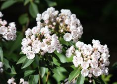 Native white-flowered Kalmia latifolia (mountain laurel): In their native habitats, these shrubs grow from 7 to 15 feet tall and wide, although older stands may reach 20 to 25 feet tall. However, in the garden setting the typical mature heights and widths of many cultivars are 5 to 8 feet. There also are several dwarf cultivars that reach only 3 or 4 feet tall and wide.
