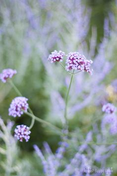 In The Sunny Spot: a fairytale garden Sleepy Head, Flower Shower, Soft And Gentle, Purple Lilac, Verbena, Soft Summer, Smell Good, Violet, Amazing Flowers
