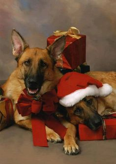 .German Shepherd Dog