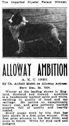 Alloway Ambition, Collie by Ch. Anfield Model ex Alloway Actress, whelped 1904.