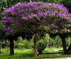 Tibouchina Tree    one of the best flowering trees - good for hot zones - prune for tree shape