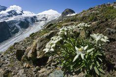 edelweiss fleur de montagne l 39 t en montagne paysages pinterest fleurs de montagne. Black Bedroom Furniture Sets. Home Design Ideas