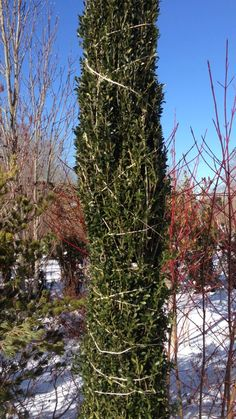 With just a little assist, 'Sky Pencil' holly stands tall, blizzard after blizzard, year after year.   Ilex crenata 'Sky Pencil'