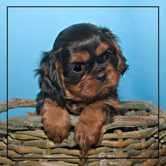 One of the Cavalier King Charles Spaniel puppies I bred.
