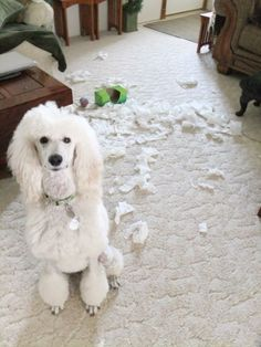 """Poodle vs Kleenex"" - Lilah.   I think all poodles are born with the Kleenex shredding gene!"