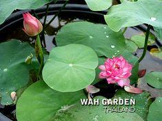 Fen Jing Ling lotus 5 | by Klong15 Waterlily Jing Ling, Nelumbo Nucifera, Water Lilies, Lotus, Plant Leaves, Plants, Lotus Flower, Plant, Lily