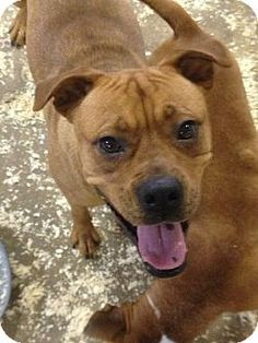 MIDDLE ISLAND, NY - Boxer Mix. Meet Kit, a dog for adoption. http://www.adoptapet.com/pet/14005080-middle-island-new-york-boxer-mix