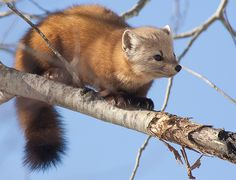 We've gathered our favorite ideas for American Pine Marten Martes Americana Mn Mammals, Explore our list of popular images of American Pine Marten Martes Americana Mn Mammals. Super Cute Animals, Cute Funny Animals, Beautiful Creatures, Animals Beautiful, American Marten, Animals And Pets, Baby Animals, Pine Marten, Puppies