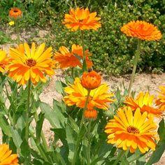 LÄKERINGBLOMMA i gruppen Ettåriga blomsterväxter hos Impecta Fröhandel (3138)